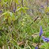 Yellow Rattle, Rhinanthus minor 9180