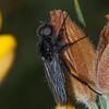 St  Mark's Fly, male, Bibio marci 8789