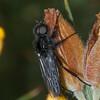 St  Mark's Fly, male, Bibio marci 8784