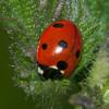 Ladybird, 7-spot, Coccinella 7-punctata 8944