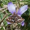 Wavy-barred Sable, Pyrausta nigrata P1240818