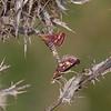 Common Purple and Golds mating, Pyrausta purpuralis 6766