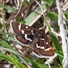 Wavy-barred Sable, Pyrausta nigrata 6593
