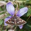 Wavy-barred Sable, Pyrausta nigrata P1240821