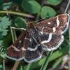 Wavy-barred Sable, Pyrausta nigrata 6599