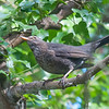 Blackbird, female, Turdus merula 9048