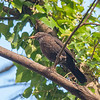 Blackbird, female, Turdus merula 9054