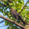 Blackbird, female, Turdus merula 9059