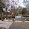 Canada Geese, Branta canadensis, The Grange, Midhurst 55233