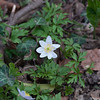 Wood Anemone, Anemone nemorosa 3359