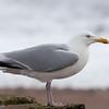 Herring Gull, Larus argentatus 3311