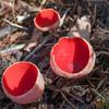 Scarlet Elf Cup, Sarcoscypha coccinea 3369