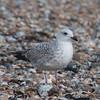 Herring Gull, juvenile, Larus argentatus 3337