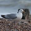 Herring Gull, Larus argentatus 3297