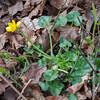 Lesser Celandine, Ranunculus ficaria 3350