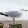 Herring Gull, Larus argentatus 3313