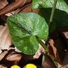 Lesser Celandine, Ranunculus ficaria 3349