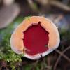 Scarlet Elf Cup, Sarcoscypha coccinea 3366