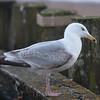 Herring Gull, 3rd winter, Larus argentatus 3302