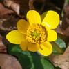 Lesser Celandine, Ranunculus ficaria 3347