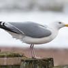 Herring Gull, Larus argentatus 3309