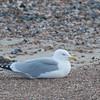 Herring Gull, Larus argentatus 3326