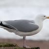 Herring Gull, Larus argentatus 3310