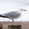 Herring Gull, Larus argentatus 3314