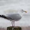 Herring Gull, Larus argentatus 3318