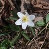 Wood Anemone, Anemone nemorosa 3355
