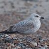 Herring Gull, juvenile, Larus argentatus 3336