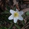 Wood Anemone, Anemone nemorosa 3356