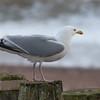 Herring Gull, Larus argentatus 3307