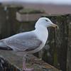 Herring Gull, 3rd winter, Larus argentatus 3301