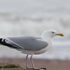 Herring Gull, Larus argentatus 3308