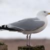 Herring Gull, Larus argentatus 3315