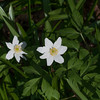 Wood Anemone, Anemone nemorosa 3380