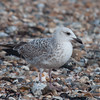 Herring Gull, juvenile, Larus argentatus 3339