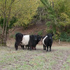 Cattle, Belted Galloway 0042