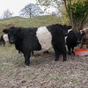Cattle, Belted Galloway 0046