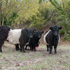 Cattle, Belted Galloway 0045