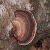 Bracket fungus, Ganoderma species 5422