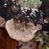 bracket fungus noid 5460