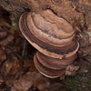 Hoof Fungus, Fomes fomentarius 5426