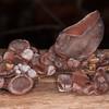 Jelly Ear Fungus, Auricularia auricula-judae 5400