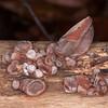 Jelly Ear Fungus, Auricularia auricula-judae 5396