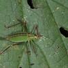 Speckled Bush Cricket ♀, Leptophyes punctatissima 2286