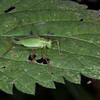 Speckled Bush Cricket ♀, Leptophyes punctatissima 2283