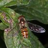 Marmalade Hoverfly, Episyrphus balteatus 2302