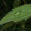 Speckled Bush Cricket ♀, Leptophyes punctatissima 2272
